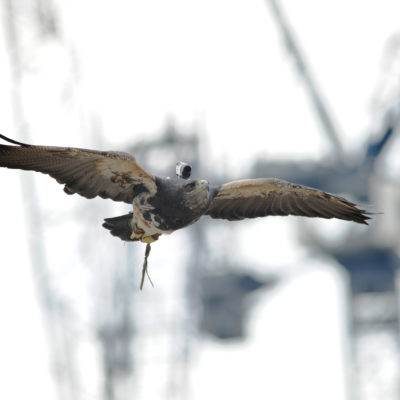 An eagle with a camera on its back creates unique film footage of Vastint's Sugar House Island development